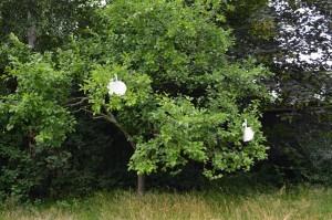 Birnbaum mit Anziehaepfeln