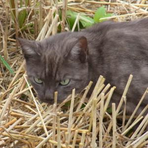 Kafkas Katze