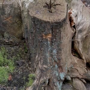 Mit drei Kreuzen versehener Baumstumpf zum Schutz von Waldgeistern