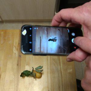 Foto vom Fotoshooting der Grummbiere, einer Kartoffel mit Birnenlaub