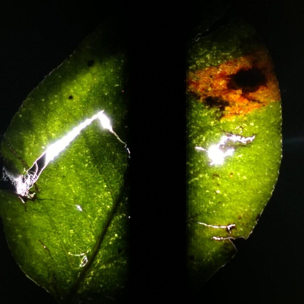 Duchleuchtetes Blat eines Birnbaums, Foto von EVA